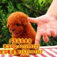 江门泰迪熊哪里有卖茶杯泰迪玩具图片