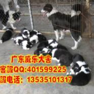 肇庆哪里有卖边境牧羊犬纯种边牧图片