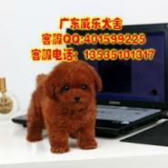 广州泰迪熊哪里有卖茶杯泰迪玩具图片