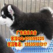 惠州哪里有卖阿拉斯加犬阿拉斯加图片