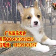 佛山哪里出售金毛犬纯种金毛幼犬价图片