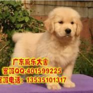 深圳哪里出售金毛犬纯种金毛幼犬价图片