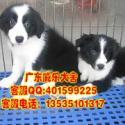 惠州哪里有卖边牧小狗 威乐犬舍出售纯种边境牧羊犬