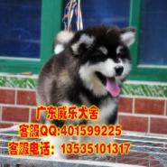 江门哪里有卖阿拉斯加犬阿拉斯加图片