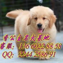 供应广州现在哪个狗场有纯种金毛幼犬出售广州香公主名犬直销批发