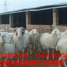 解密:绵羊养殖管理五招嘉祥县顺翔牛羊养殖场批发