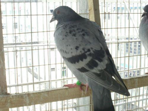 种鸽子养殖场出售雨点鸽黑鸽图片图片