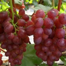 供应红巴拉蒂葡萄