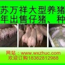 供应杭州小猪崽最新价格包成活率批发