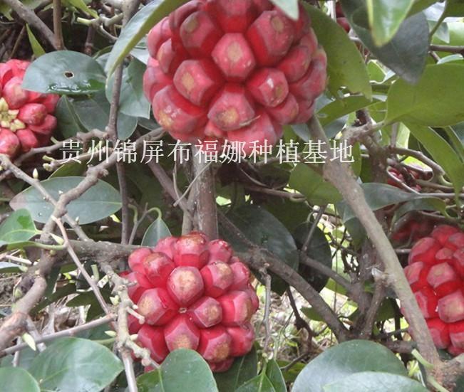 种植供应商\/生产供应贵州特色水果布福蔓种种
