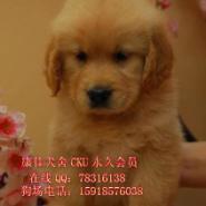 佛山纯种金毛犬图片