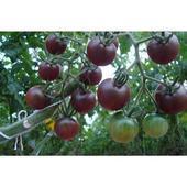 黑果番茄种子图片