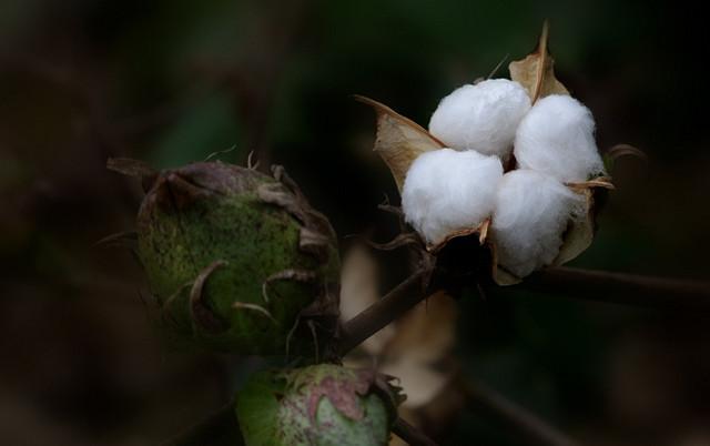 棉花种子种植