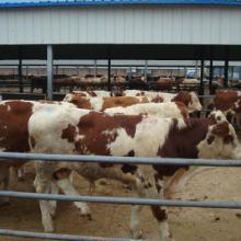 养殖肉牛吃什么草料