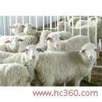 山东小尾寒羊供应批发