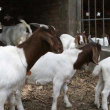 供应内蒙小尾寒羊种羊批发