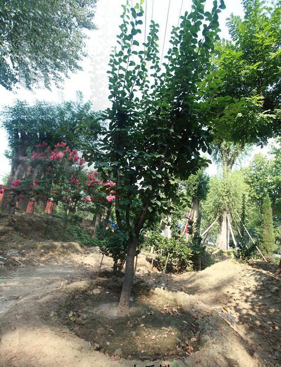 山东木瓜树
