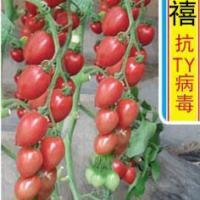 玉禧009番茄种子樱桃番茄种子