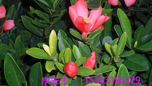 供应高产油茶苗-优质良种油茶苗-油茶苗树-油子苗树