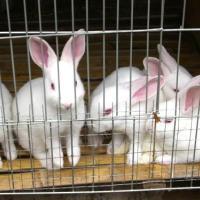 供应邯郸磁县优良獭兔兔种邯郸磁县獭兔邯郸磁县养兔