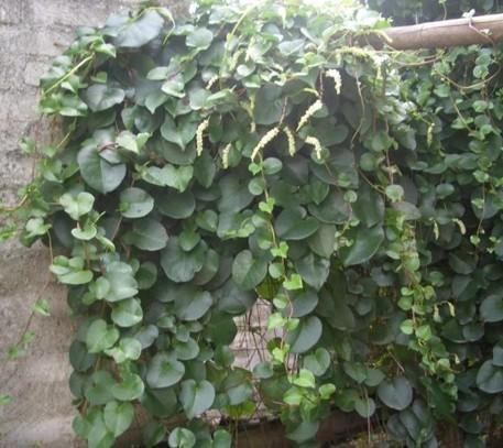 沛县藤三七种苗种球采购销售