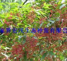 供应红翅槭小苗