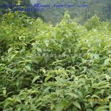 供应光皮树苗/生物能源植物光皮树苗