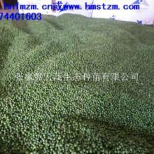 供应全国最低价格的罗汉松种子批发