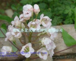 的鳞毛蕨,冷水花