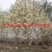 陕西供应白玉兰绿化苗木图片