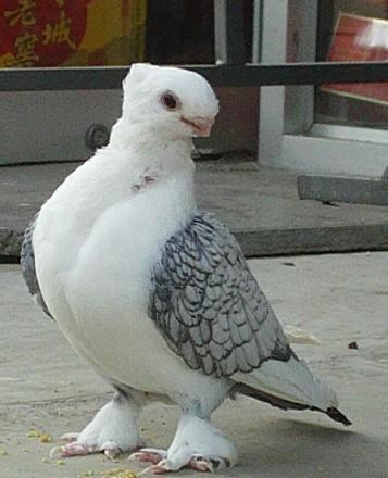 供应淑女鸽成年淑女淑女幼鸽