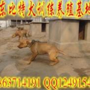 河南信阳哪里有比特犬养殖场图片