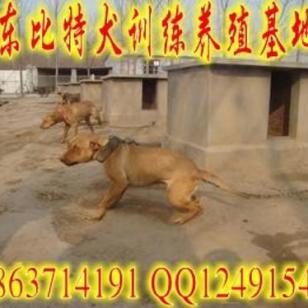 广东梅州哪里有比特犬养殖场图片