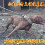 新疆乌鲁木齐哪里有比特犬养殖场图片