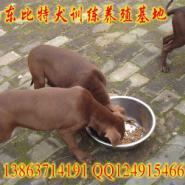 北京哪里有比特犬养殖场图片