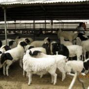 养牛技术羊羊基地波尔山羊养殖图片