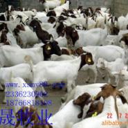 波尔山羊小尾寒羊杜波绵羊图片