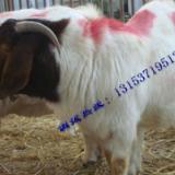 供应波尔山羊养殖前景