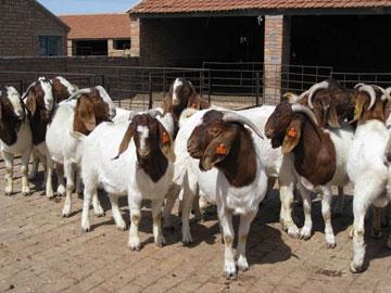 供应2013年最新波尔山羊价格
