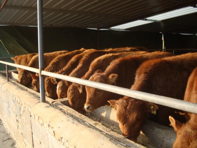 供应利木赞牛