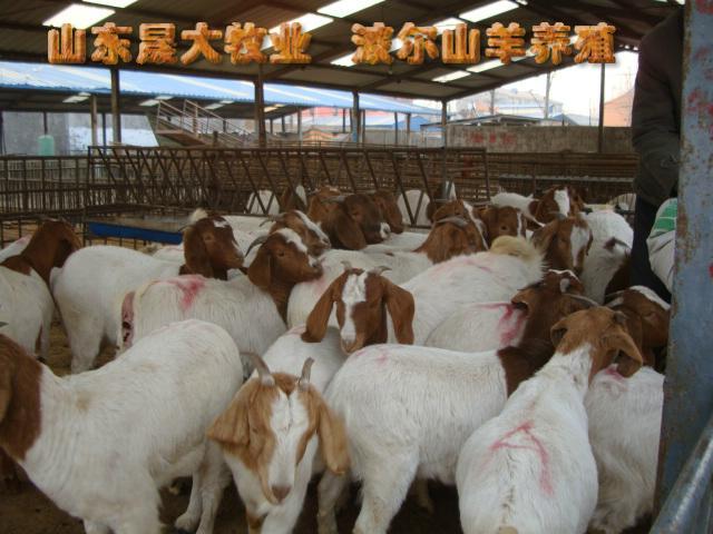 供应山东肉羊品种