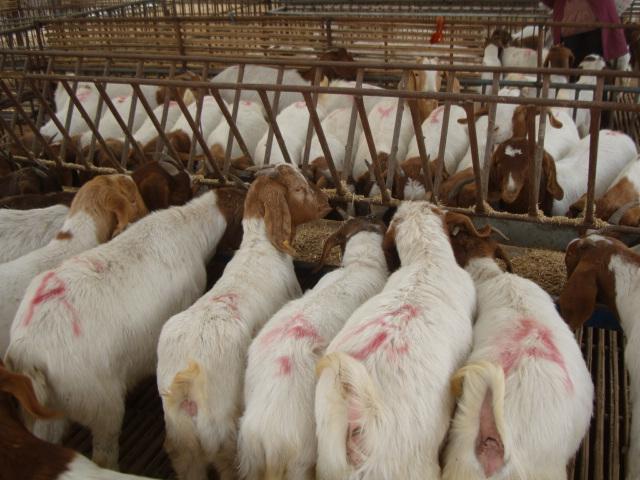 供应杜泊绵羊养殖场