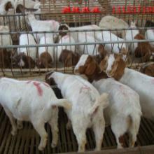 供应广西哪里有卖羊的肉羊价格
