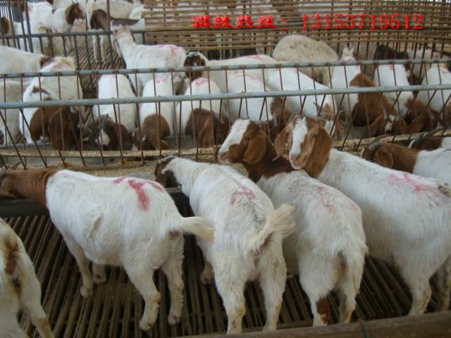 供应山东波尔山羊养殖场