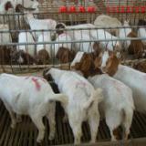 供应青海肉羊养殖场