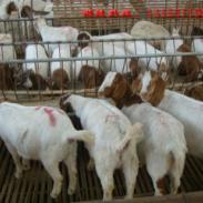 湖南哪里有卖波尔山羊的图片