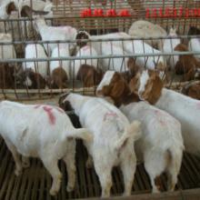供应新疆肉羊价格