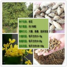 供应挂花树种子桂花多少钱一斤批发
