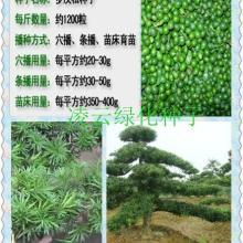 供应罗汉松种子,广东罗汉松台湾罗汉松海岛罗汉松种子价格日本罗汉松批发