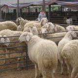 供应哪里的小尾寒羊价格低如何选购小尾寒羊